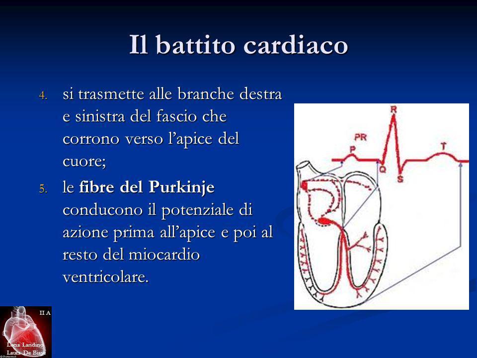 Il battito cardiaco 4. si trasmette alle branche destra e sinistra del fascio che corrono verso lapice del cuore; 5. le fibre del Purkinje conducono i