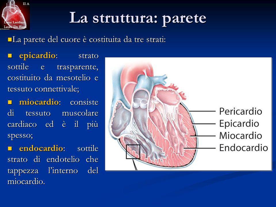 La struttura: parete La parete del cuore è costituita da tre strati: La parete del cuore è costituita da tre strati: epicardio: strato sottile e trasp