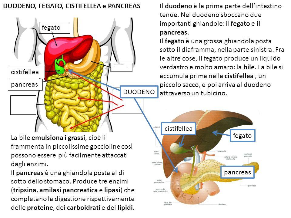 fegato cistifellea pancreas DUODENO, FEGATO, CISTIFELLEA e PANCREAS DUODENO Il duodeno è la prima parte dellintestino tenue. Nel duodeno sboccano due