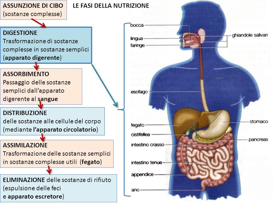 LE FASI DELLA NUTRIZIONE ASSUNZIONE DI CIBO (sostanze complesse) DIGESTIONE Trasformazione di sostanze complesse in sostanze semplici (apparato digerente) ASSORBIMENTO Passaggio delle sostanze semplici dallapparato digerente al sangue DISTRIBUZIONE delle sostanze alle cellule del corpo (mediante lapparato circolatorio) ASSIMILAZIONE Trasformazione delle sostanze semplici in sostanze complesse utili (fegato) ELIMINAZIONE delle sostanze di rifiuto (espulsione delle feci e apparato escretore)
