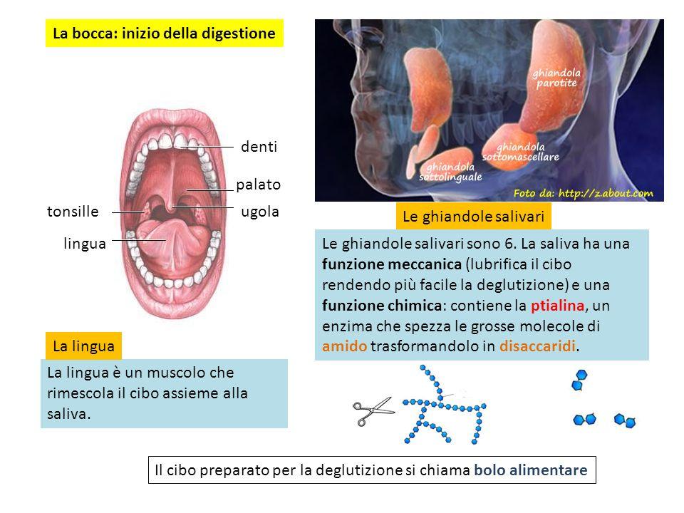 La bocca: inizio della digestione denti palato ugola lingua tonsille Le ghiandole salivari Le ghiandole salivari sono 6. La saliva ha una funzione mec