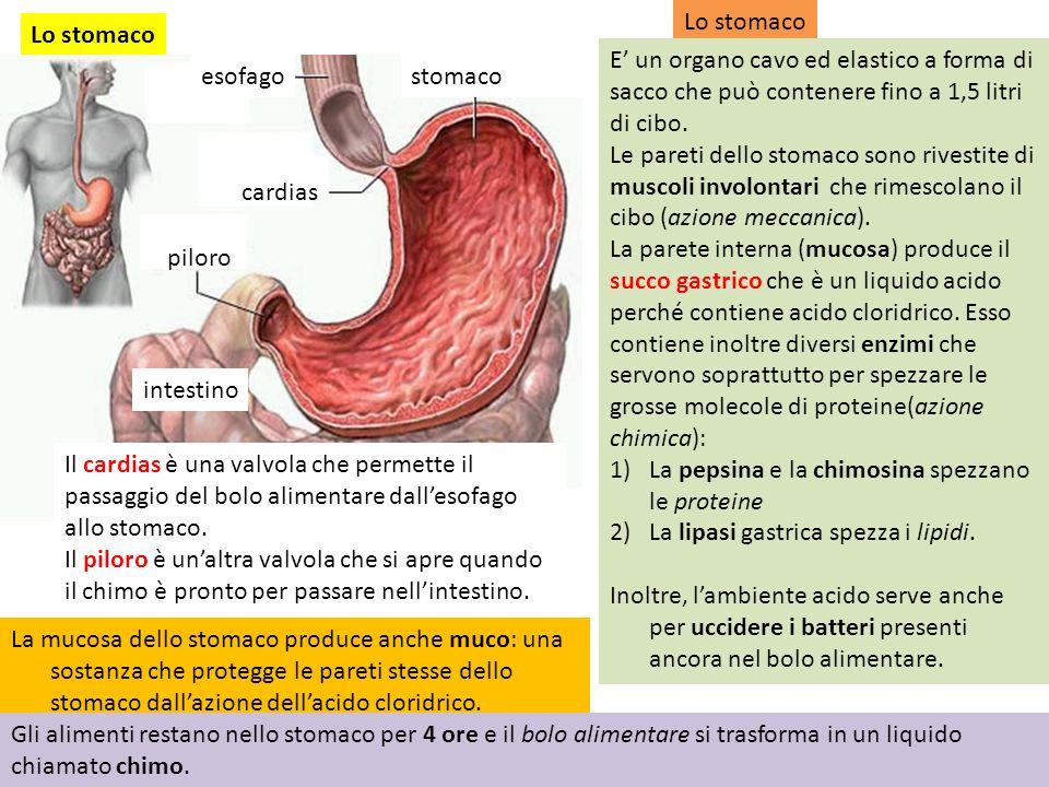 Lo stomaco stomaco piloro esofago cardias intestino Lo stomaco E un organo cavo ed elastico a forma di sacco che può contenere fino a 1,5 litri di cibo.