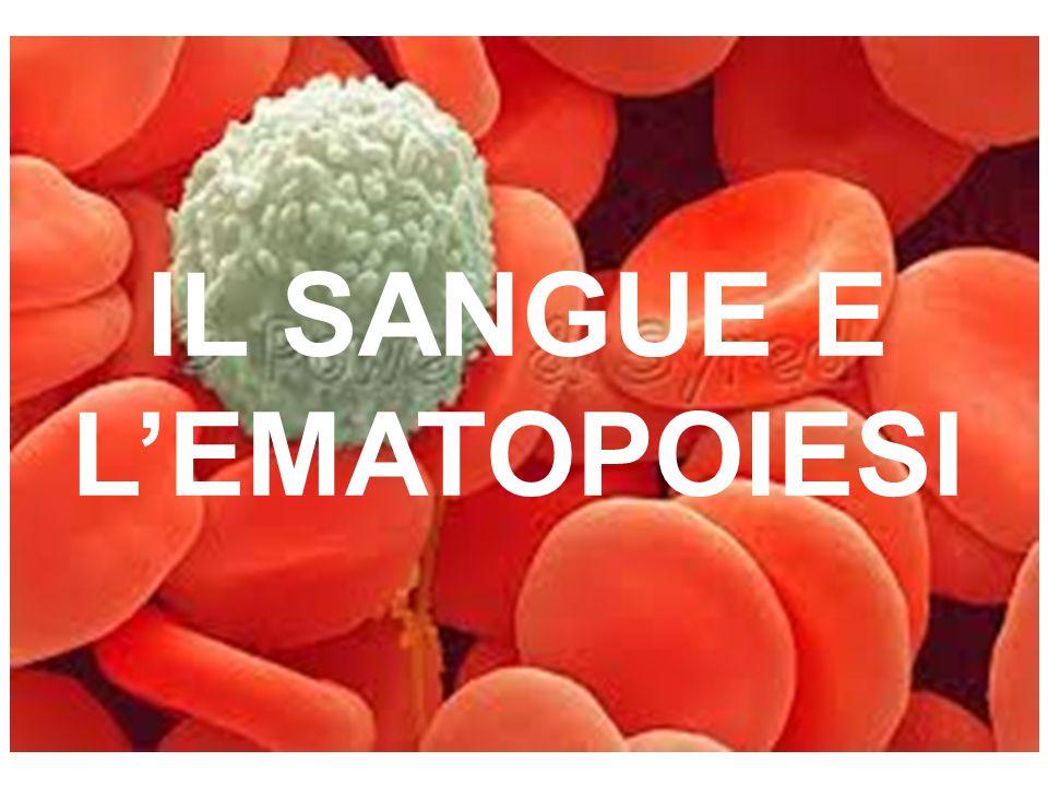 GRANULOCITI Sono cellule differenziate (non si possono più dividere).