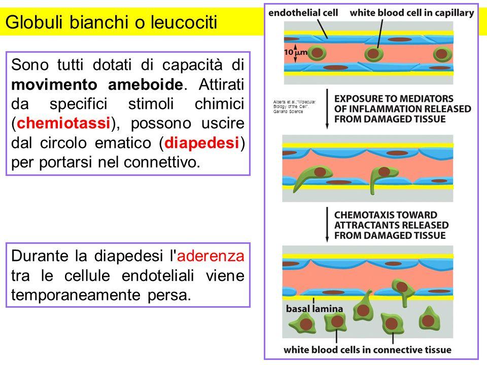 Globuli bianchi o leucociti Sono tutti dotati di capacità di movimento ameboide. Attirati da specifici stimoli chimici (chemiotassi), possono uscire d