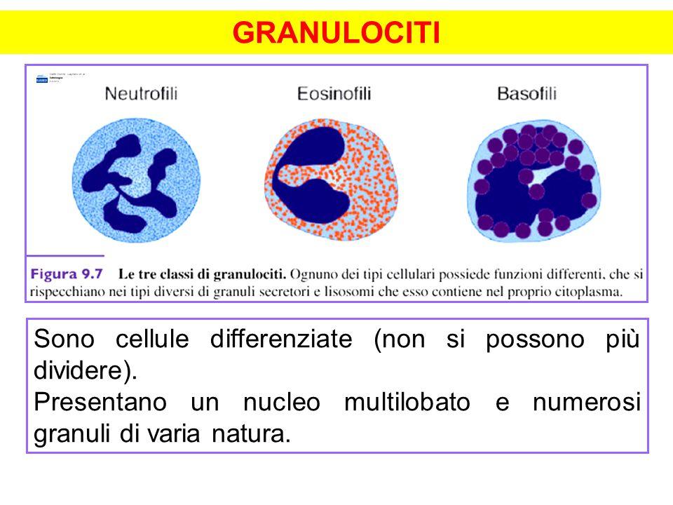 GRANULOCITI Sono cellule differenziate (non si possono più dividere). Presentano un nucleo multilobato e numerosi granuli di varia natura.