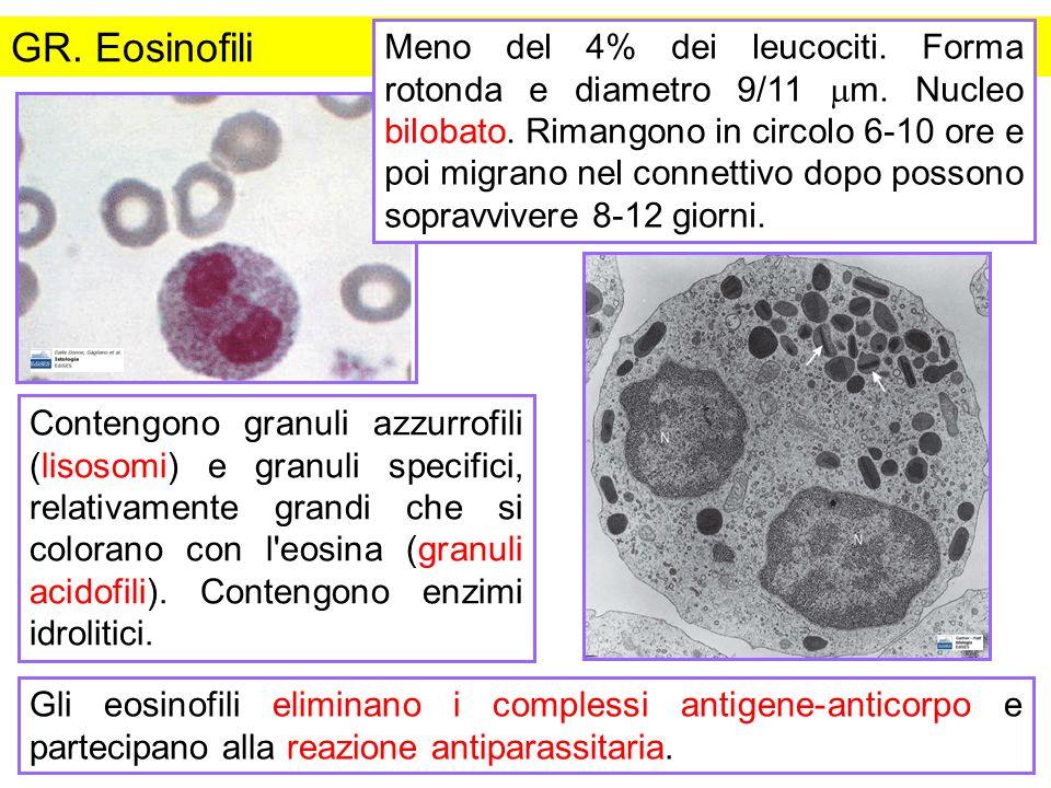 GR. Eosinofili Contengono granuli azzurrofili (lisosomi) e granuli specifici, relativamente grandi che si colorano con l'eosina (granuli acidofili). C