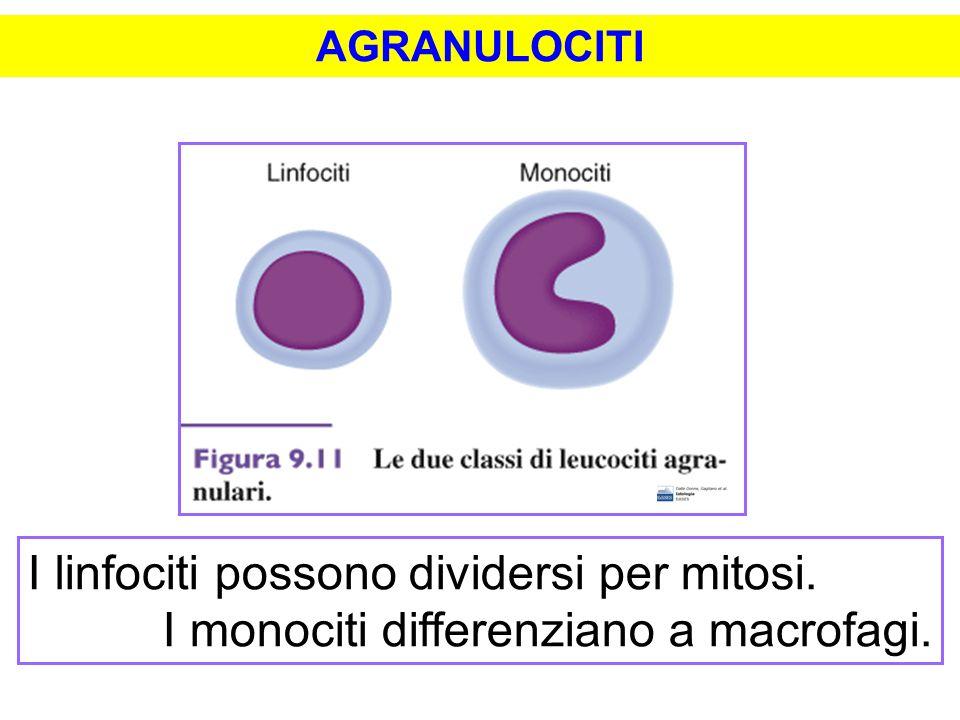 AGRANULOCITI I linfociti possono dividersi per mitosi. I monociti differenziano a macrofagi.