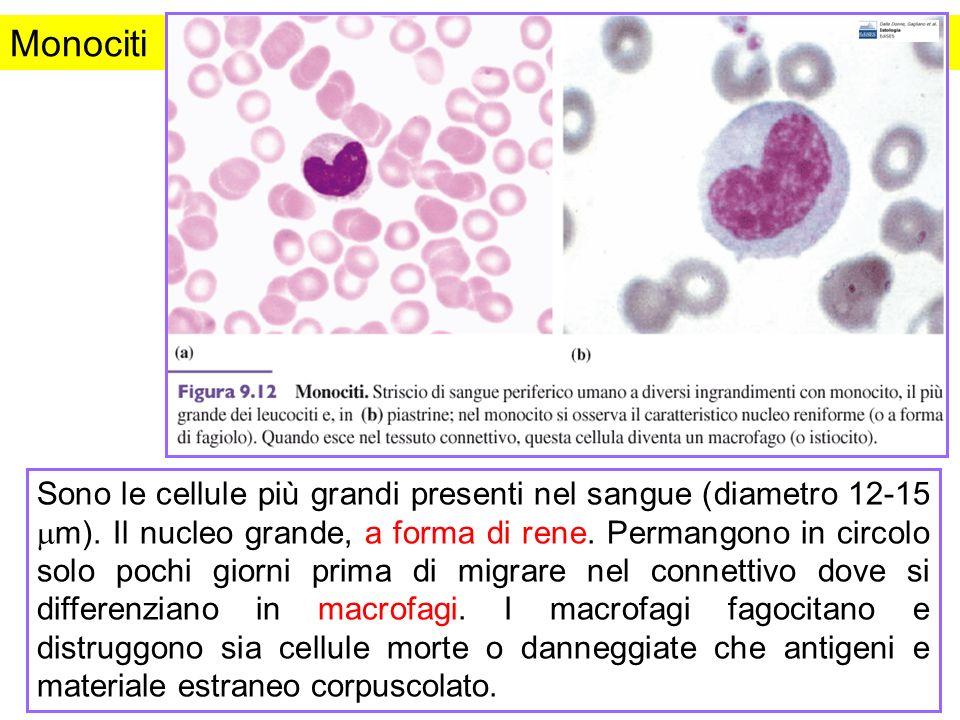 Monociti Sono le cellule più grandi presenti nel sangue (diametro 12-15 m). Il nucleo grande, a forma di rene. Permangono in circolo solo pochi giorni