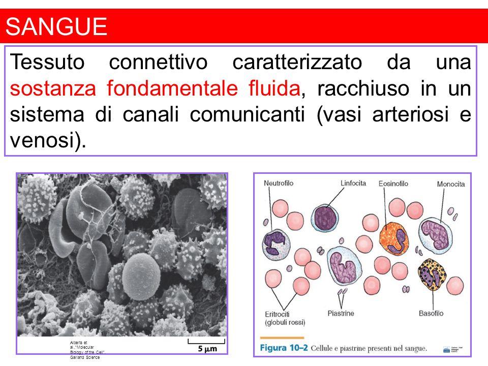 SANGUE Alberts et al.,Molecular Biology of the Cell. Garland Science Tessuto connettivo caratterizzato da una sostanza fondamentale fluida, racchiuso
