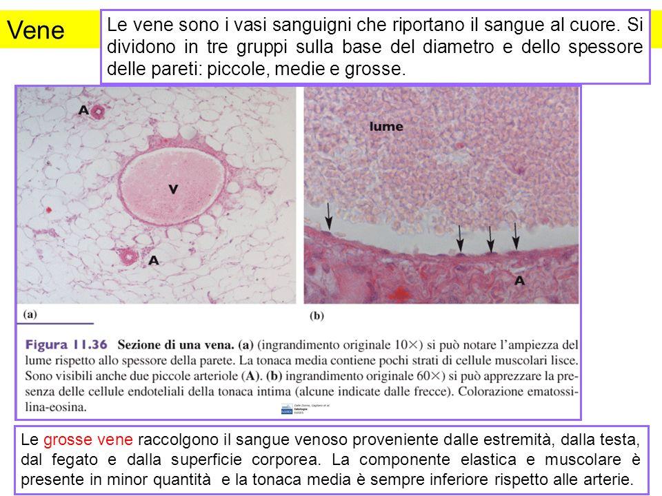 Vene Le vene sono i vasi sanguigni che riportano il sangue al cuore. Si dividono in tre gruppi sulla base del diametro e dello spessore delle pareti:
