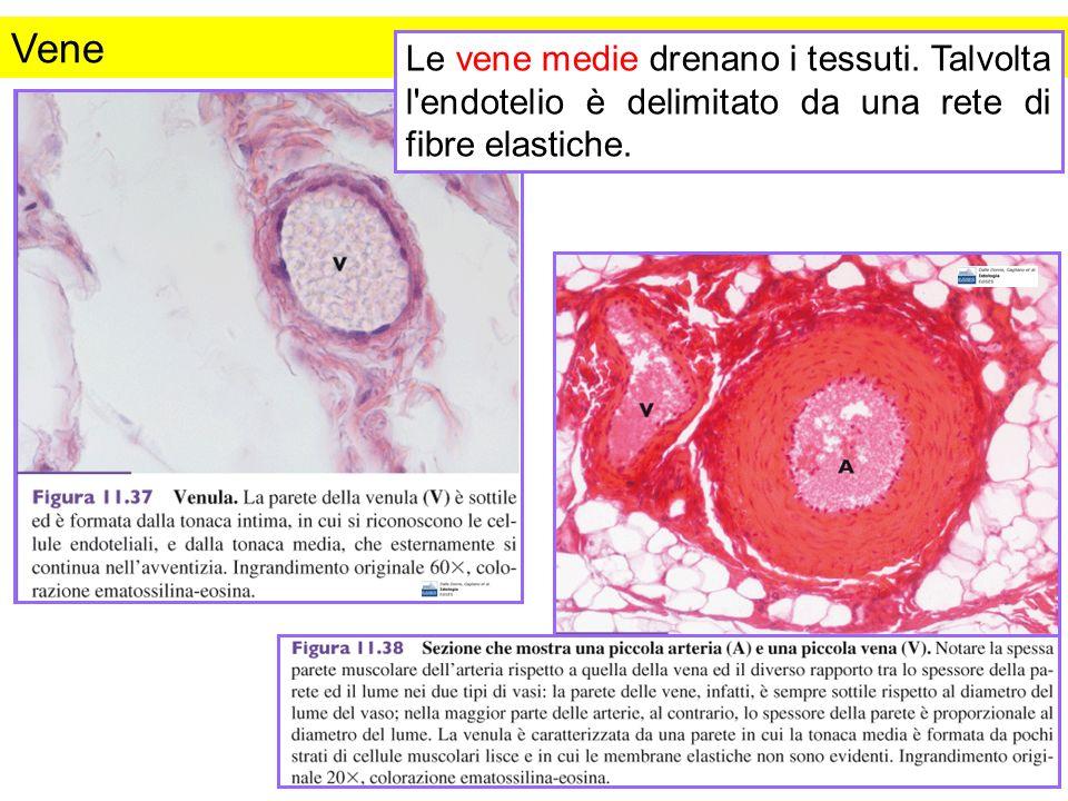 Vene Le vene medie drenano i tessuti. Talvolta l'endotelio è delimitato da una rete di fibre elastiche.