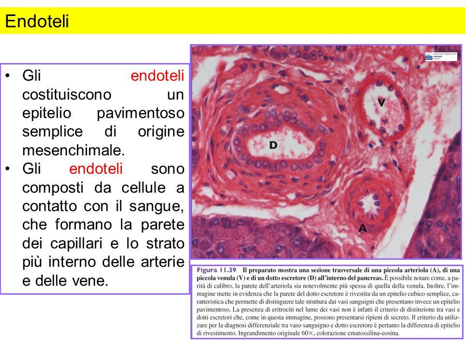 Endoteli Gli endoteli costituiscono un epitelio pavimentoso semplice di origine mesenchimale. Gli endoteli sono composti da cellule a contatto con il