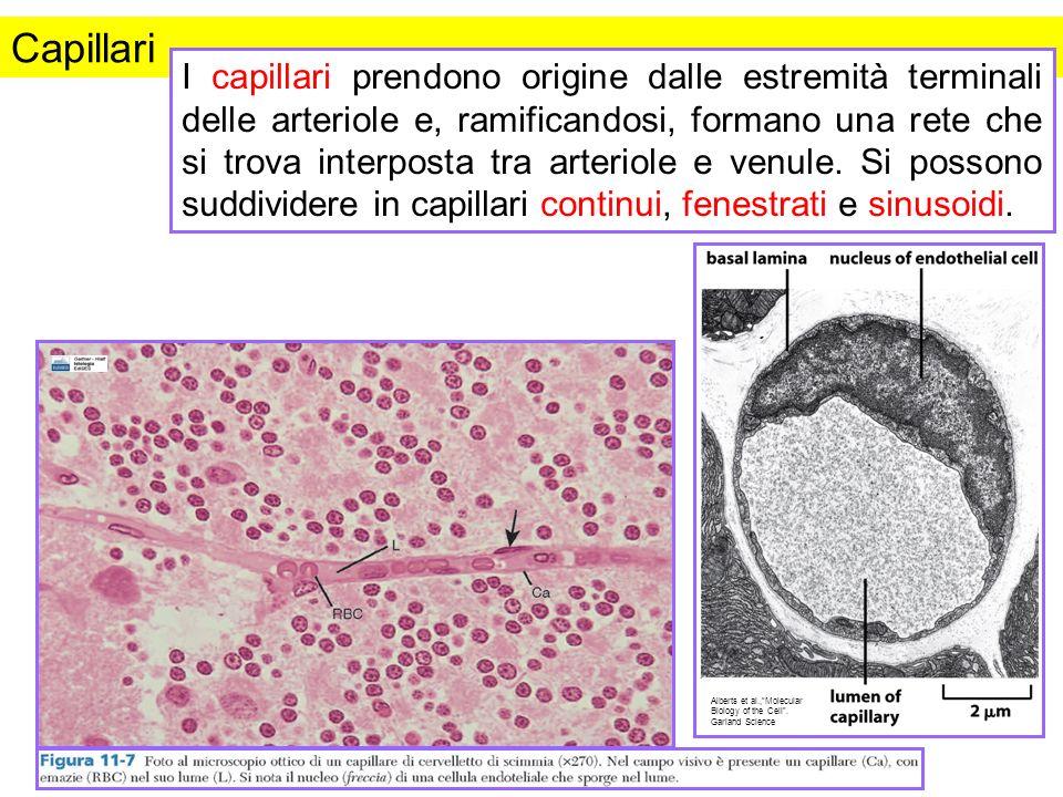 Capillari I capillari prendono origine dalle estremità terminali delle arteriole e, ramificandosi, formano una rete che si trova interposta tra arteri