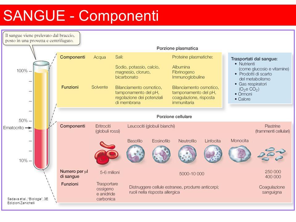 Basofili Contengono granuli azzurrofili (lisosomi) e granuli specifici, che contengono eparina, istamina, fattori chemiotattici per eosinofili e neutrofili.