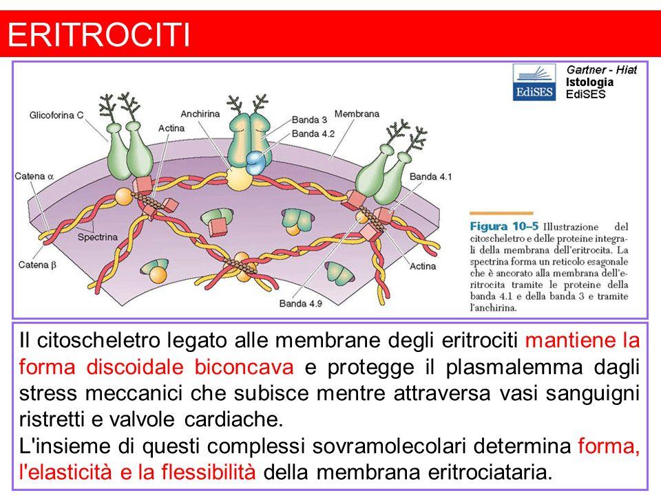 GLOBULI BIANCHI O LEUCOCITI I leucociti sono cellule bianche del sangue con funzione di difesa.