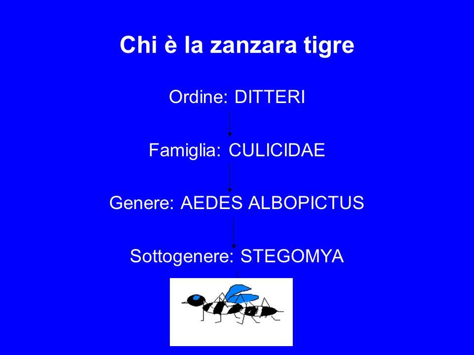 Chi è la zanzara tigre Ordine: DITTERI Famiglia: CULICIDAE Genere: AEDES ALBOPICTUS Sottogenere: STEGOMYA