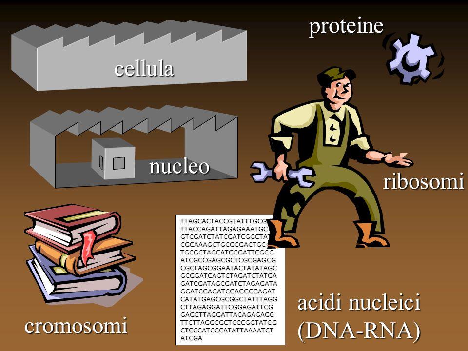 cellula nucleo cromosomi TTAGCACTACCGTATTTGCGCA TTACCAGATTAGAGAAATGCTA GTCGATCTATCGATCGGCTATT CGCAAAGCTGCGCGACTGCGA TGCGCTAGCATGCGATTCGCG ATCGCCGAGCGC