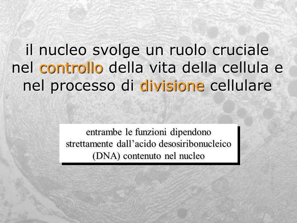 il nucleo svolge un ruolo cruciale nel controllo della vita della cellula e nel processo di divisione cellulare entrambe le funzioni dipendono stretta