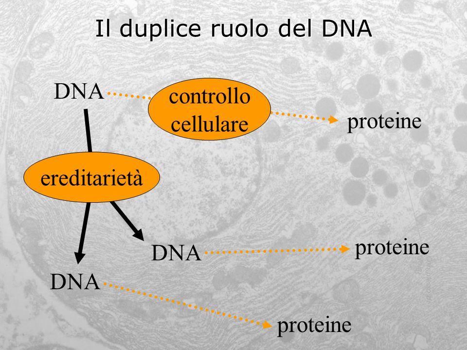 Il duplice ruolo del DNA DNA proteine DNA proteine controllo cellulare ereditarietà