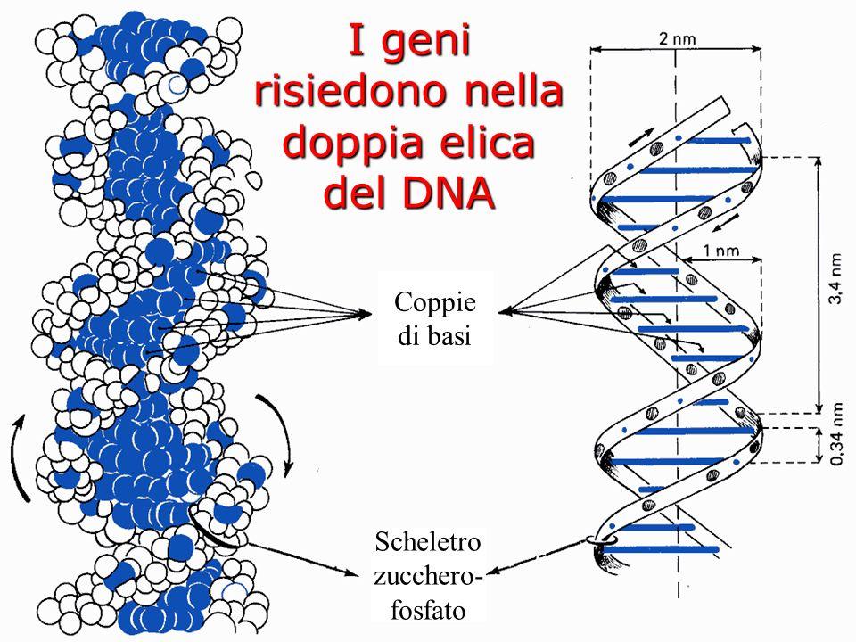 I geni risiedono nella doppia elica del DNA Coppie di basi Scheletro zucchero- fosfato