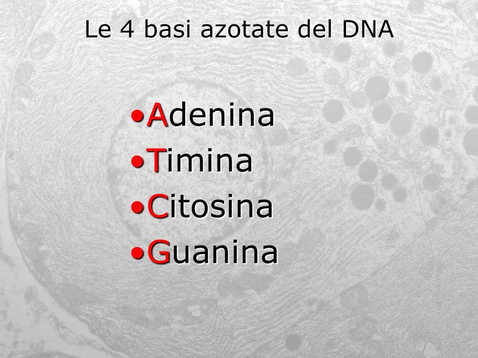 Le 4 basi azotate del DNA AdeninaAdenina TiminaTimina CitosinaCitosina GuaninaGuanina