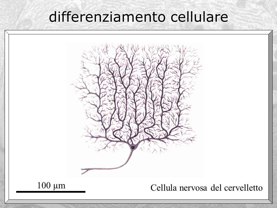 differenziamento cellulare Cellula nervosa del cervelletto 100 µm