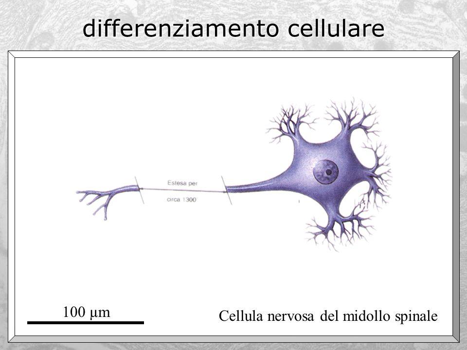 differenziamento cellulare Cellula nervosa del midollo spinale 100 µm