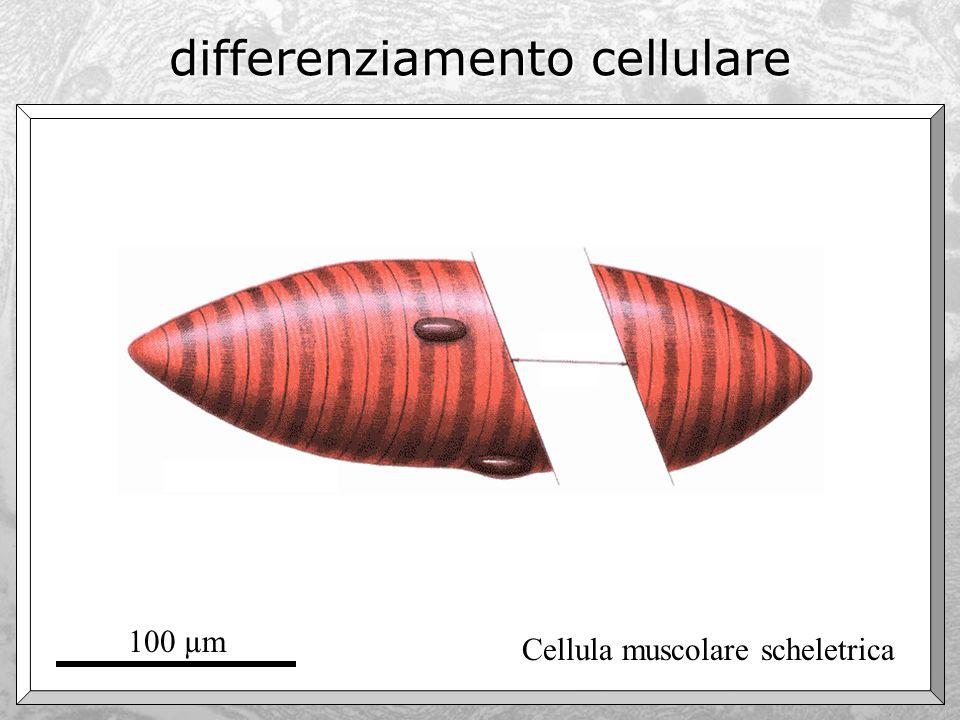 differenziamento cellulare Cellula muscolare scheletrica 100 µm