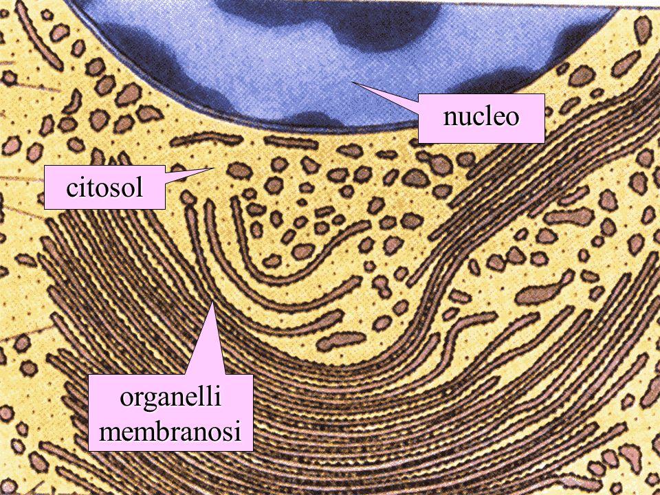 citosol nucleo organelli membranosi