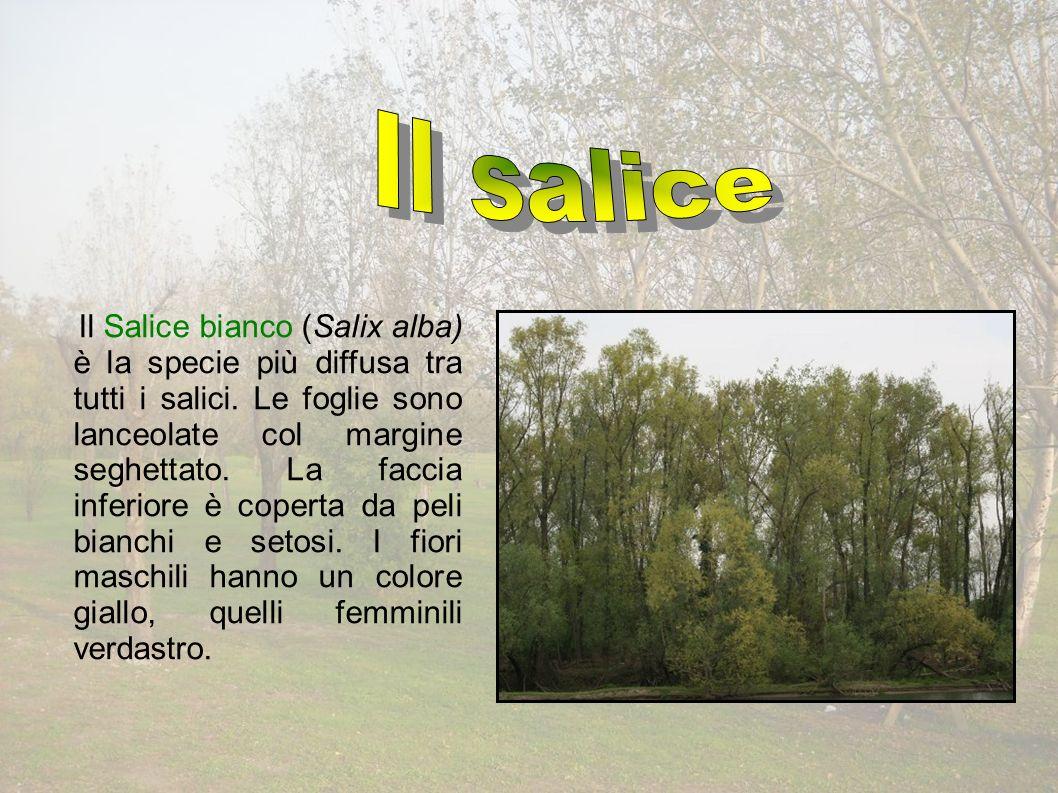 Il Salice bianco (Salix alba) è la specie più diffusa tra tutti i salici.