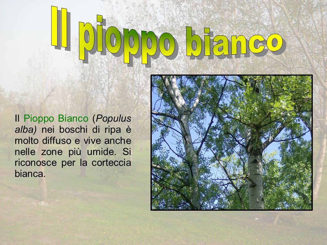 Il Pioppo Bianco (Populus alba) nei boschi di ripa è molto diffuso e vive anche nelle zone più umide.