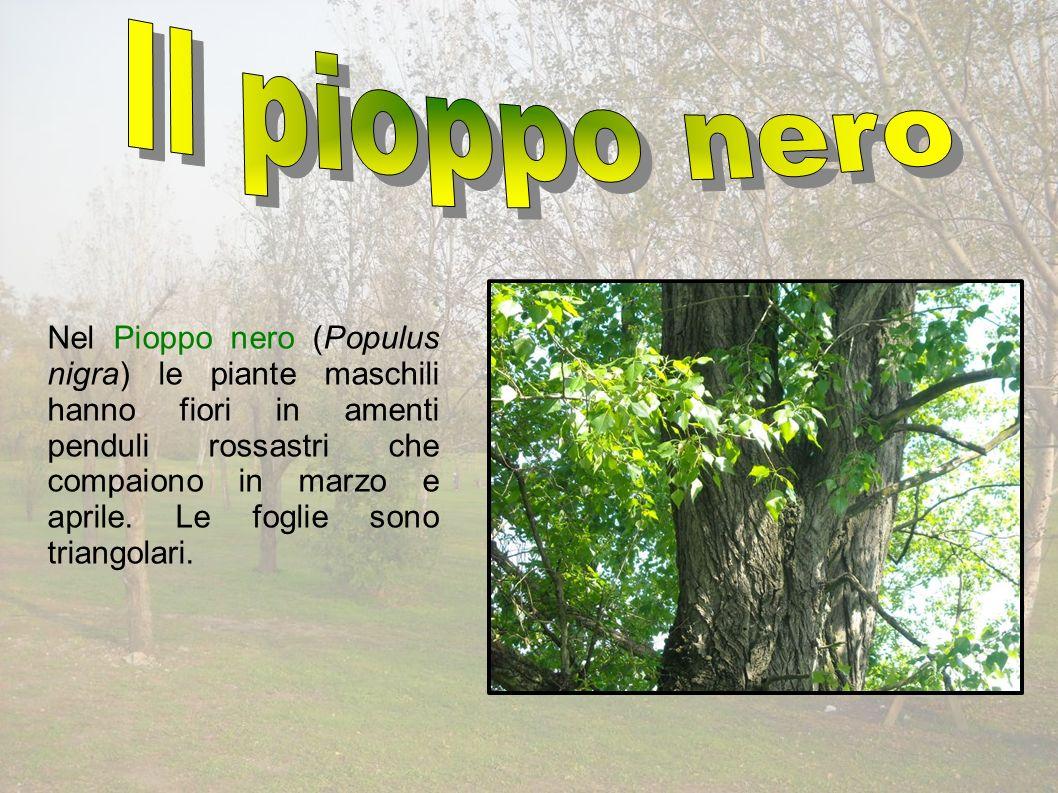 Nel Pioppo nero (Populus nigra) le piante maschili hanno fiori in amenti penduli rossastri che compaiono in marzo e aprile.