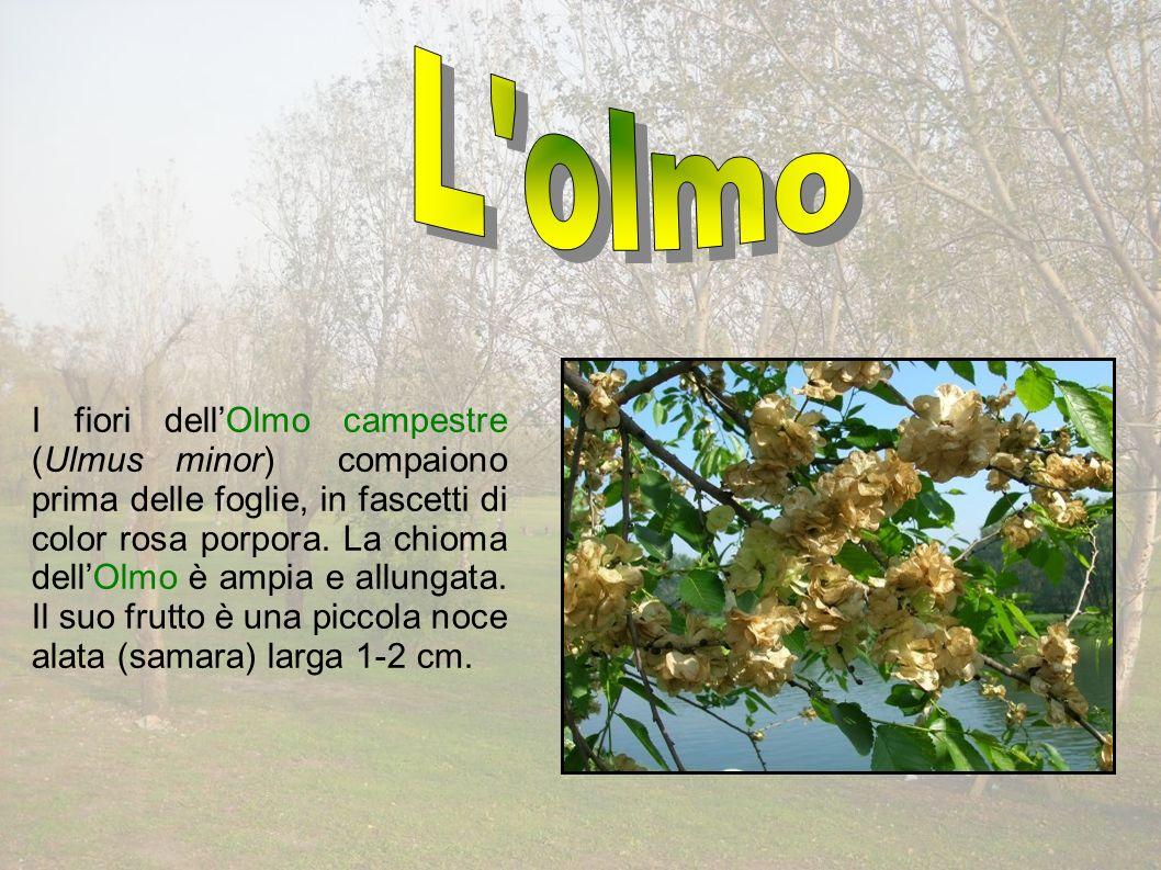I fiori dellOlmo campestre (Ulmus minor) compaiono prima delle foglie, in fascetti di color rosa porpora.