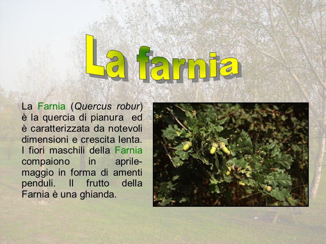 La Farnia (Quercus robur) è la quercia di pianura ed è caratterizzata da notevoli dimensioni e crescita lenta.