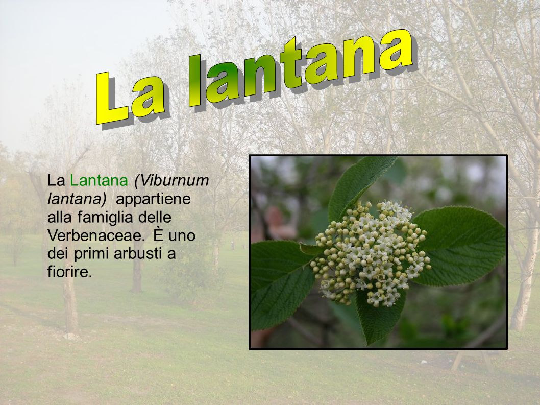 La Lantana (Viburnum lantana) appartiene alla famiglia delle Verbenaceae.