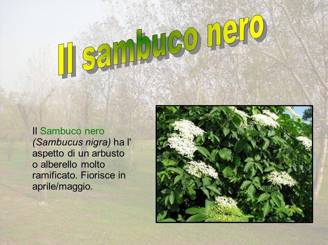 Il Sambuco nero (Sambucus nigra) ha l aspetto di un arbusto o alberello molto ramificato.