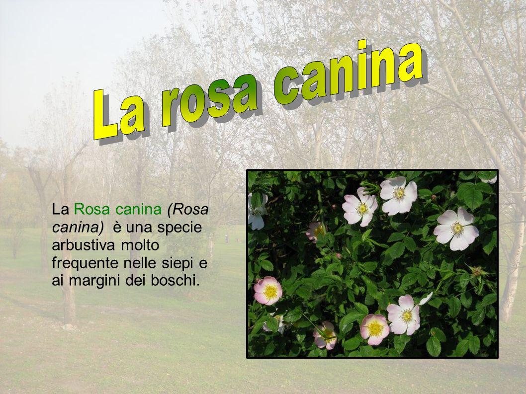 La Rosa canina (Rosa canina) è una specie arbustiva molto frequente nelle siepi e ai margini dei boschi.