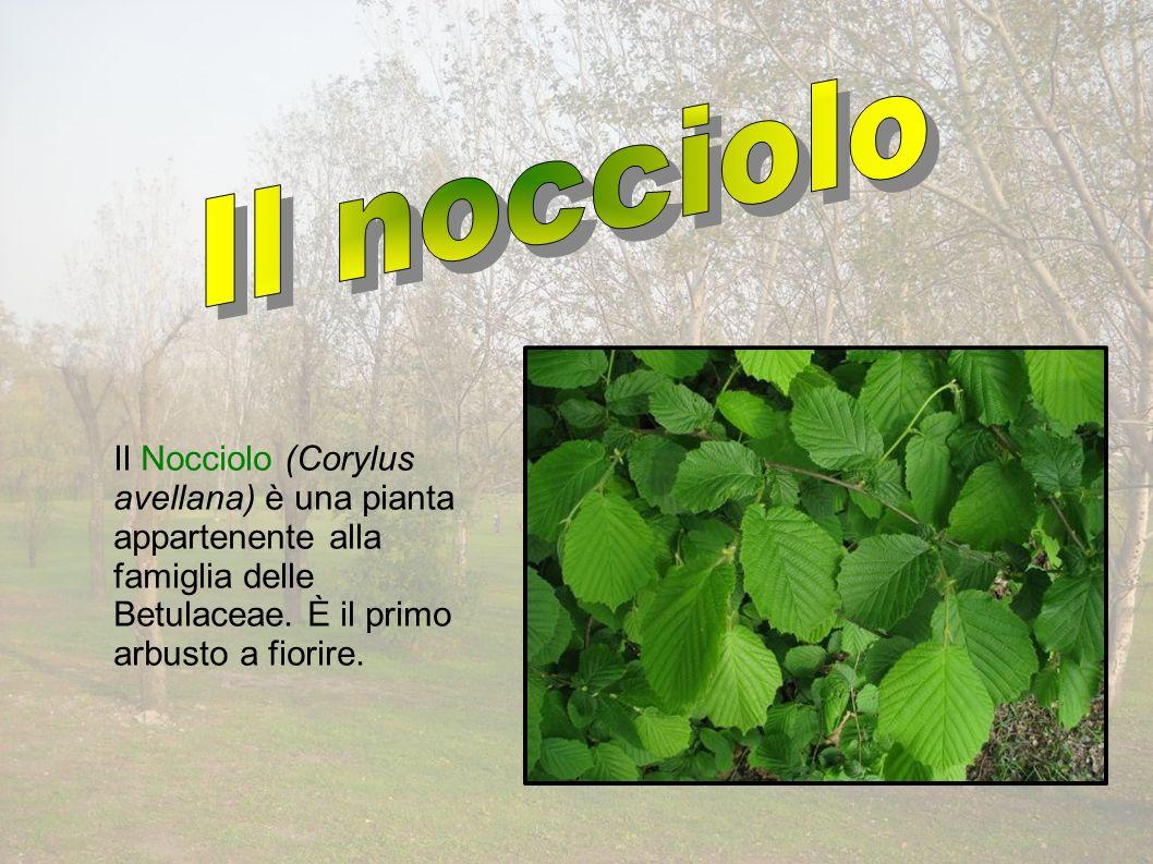 Il Nocciolo (Corylus avellana) è una pianta appartenente alla famiglia delle Betulaceae.