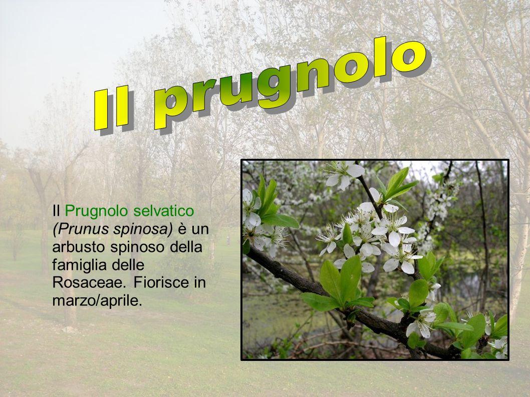 Il Prugnolo selvatico (Prunus spinosa) è un arbusto spinoso della famiglia delle Rosaceae.