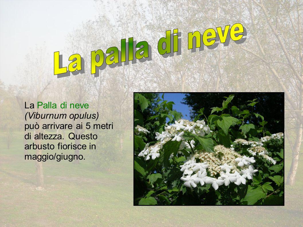 La Palla di neve (Viburnum opulus) può arrivare ai 5 metri di altezza.