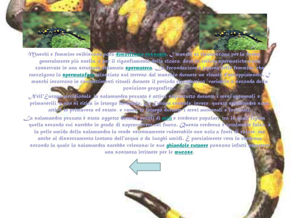 La Salamandra pezzata (Salamandra salamandra, Linnaeus 1758) è un urodelo appartenente alla famiglia Salamandridae. La specie Salamandra salamandra e