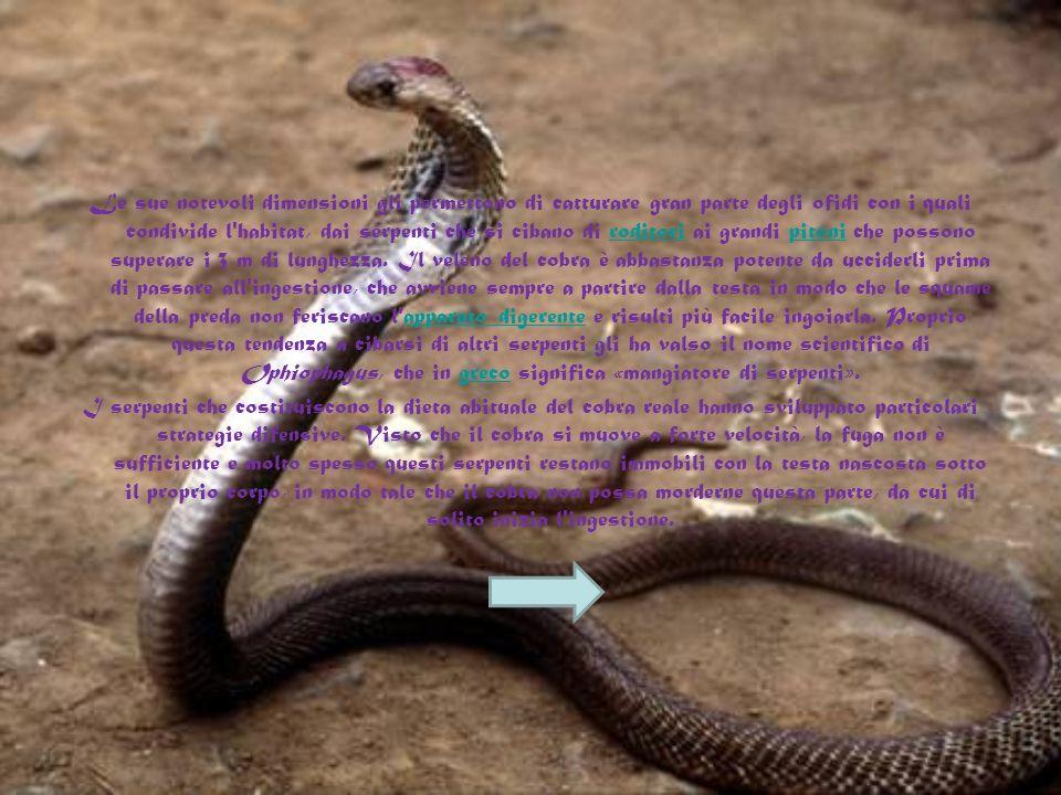 Questo serpente vive in media 20 anni, abitualmente nelle foreste tropicali e nei mangroveti, in prossimità di corsi d'acqua e in zone umide, dal mome