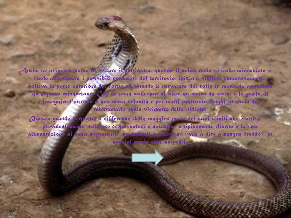 Le sue notevoli dimensioni gli permettono di catturare gran parte degli ofidi con i quali condivide l'habitat, dai serpenti che si cibano di roditori