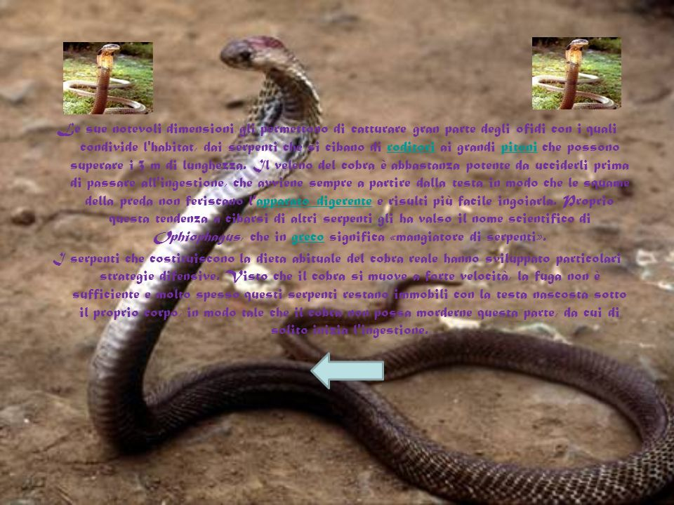 Anche se in genere cerca di evitare il confronto, quando il cobra reale si sente minacciato e vuole allontanare i possibili predatori dal territorio,