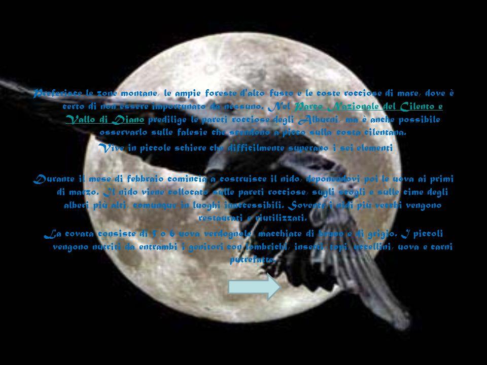 Il corvo imperiale (Corvus corax) è il più grande passeriforme e corvo europeo, le ali superano 1,3 metri di larghezza e dal becco alla coda è lungo t