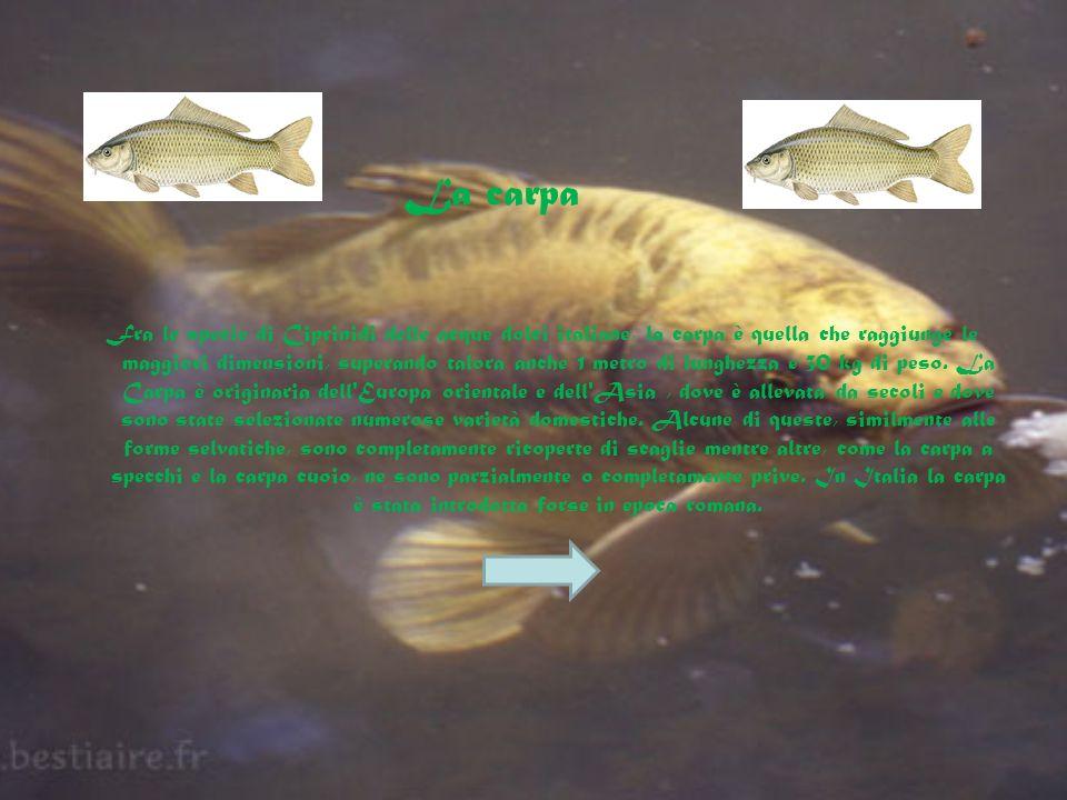 Fra le specie di Ciprinidi delle acque dolci italiane, la carpa è quella che raggiunge le maggiori dimensioni, superando talora anche 1 metro di lunghezza e 30 kg di peso.