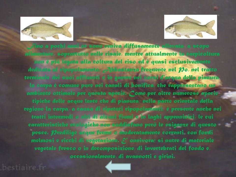 Fra le specie di Ciprinidi delle acque dolci italiane, la carpa è quella che raggiunge le maggiori dimensioni, superando talora anche 1 metro di lungh