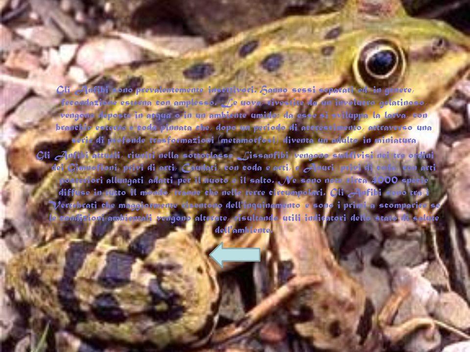 Gli anfibi. Gli Anfibi sono i primi Vertebrati che hanno invaso le terre emerse e sono definiti così in quanto conservano una fase di vita acquatica.