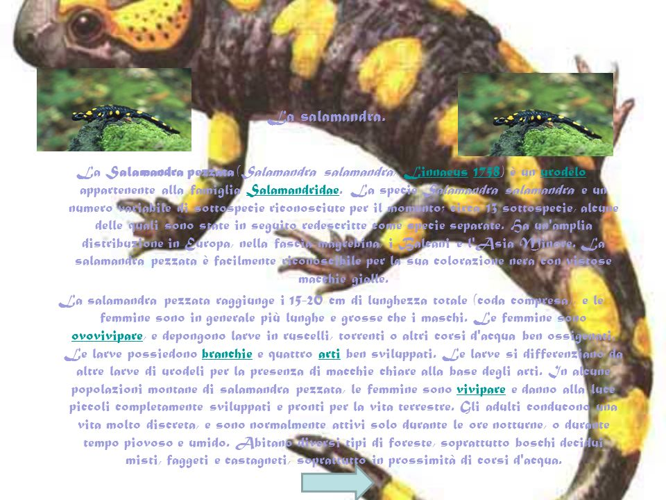 La Salamandra pezzata (Salamandra salamandra, Linnaeus 1758) è un urodelo appartenente alla famiglia Salamandridae.