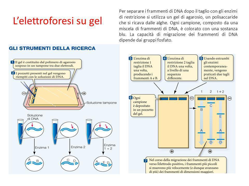 Lelettroforesi su gel Per separare i frammenti di DNA dopo il taglio con gli enzimi di restrizione si utilizza un gel di agarosio, un polisaccaride ch